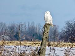 Owl Is Calm, Owl Is Bright (Meryl Raddatz) Tags: owl bird nature naturephotography wildlife winter canada