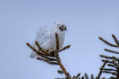 Yummy (Peter Stahl Photography) Tags: snowowl snowy winter voles