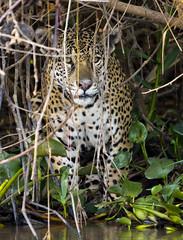 A lurking jaguar (paolo_barbarini) Tags: jaguar feline giaguaro felino cats mammals mammiferi animali animals wildlife nature natura brasile pantanal brazil