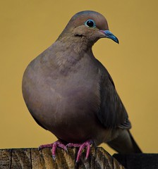 Not Camera Shy At All (ACEZandEIGHTZ) Tags: mourning dove bird feathered nature avian nikon d3200 zenaida macroura portrait macro closeup backyard birdwatcher coth5 coth alittlebeauty sunrays5