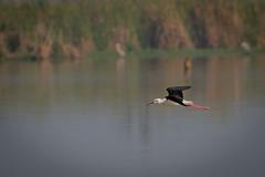 HoskoteBirding_Jan2019_D75_8503 (mgcs) Tags: birds indianbirds karnataka nikond750 nikkor200500 wild handheld