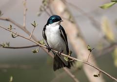 IMG_5743 Tree Swallow (suebmtl) Tags: songbird bird birding ontario treeswallow springmigration springmigrant spring longpointbirdobservatory canada tachycinetabicolor