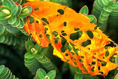 Pillars (L@nce) Tags: autumn fall leaf leaves plant nikon victoria britishcolumbia