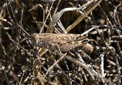 Grasshopper --- Calliptamus barbarus (creaturesnapper) Tags: almeria spain europe insects grasshoppers orthoptera calliptamusbarbarus