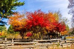 Autumn Symphony (kimsin801) Tags: kimsin801 southkorea namiisland autumn colors