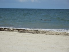 Lone Pelican Flying Away (knightbefore_99) Tags: mexico mexican mujeres island isla tropical caribbean awesome azul blue cool bird fly beach playa plage pelican sand sable