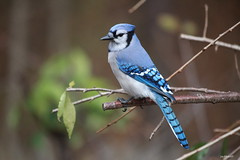 Blue Jay  Cyanocitta cristata (jackhawk9) Tags: bluejay cyanocittacristata birds jay wildlife nature jackhawk9 southjersey newjersey usa backyardbirding canon ngc birdwatcher fantasticnature