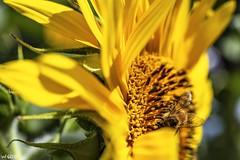 Sun Goddess (red stilletto) Tags: stkilda stkildamelbourne vegoutcommunitygardens vegoutcommunitygardensstkilda flower flowers sunflower sunflowers macro summer bee petal petals