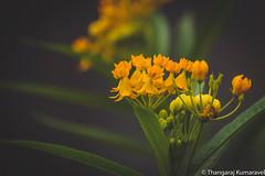 Flower Bells (Butterfly weed) (Kumaravel) Tags: lr leaves crop flora yercaud india flower leaf kumaravel closeup blossom nature dof kumar