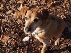 Jake (cycle.nut66) Tags: jake dog terrier patterdale brown brindle sit sitting olympus epl1 evolt mzuiko micro four thirds