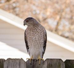 Hawk (mahar15) Tags: birds outdoors hawk wildlife bird nature birdofprey coopershawk