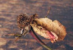 One twisted petal (Inka56) Tags: smileonsaturday onesinglepetal rose petal macromondays picktwo twistedpetal