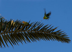 Peachfaced Lovebirds in the park (utski7) Tags: peachfacelovebirds lovebirds kiwanispark tempeaz fall2018 november2018 birds feralparrots