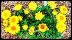 Every flower 💮🌻💮 is a soul blossoming in nature 🌲 . . . #snapsbytamjid #taamjiid17 #flowers  #love #flowerslovers #nature #flower #photooftheday #flowersofinstagram #flowerstagram #blooms #beautiful #bota (snaps.by.tamjid) Tags: love photooftheday flowers flowerstagram blossom nature flowermagic flowerslovers flower taamjiid17 flowersofinstagram blooms spring beautiful picoftheday botanical bloom instablooms floweroftheday snapsbytamjid