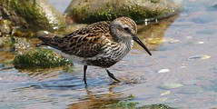 Dunlin 220518 (3) (Richard Collier - Wildlife and Travel Photography) Tags: birds british wildlife naturalhistory dunlin naturethroughthelens coth coth5