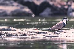 SU UNA ROCCIA    ----    ON A ROCK (Ezio Donati is ) Tags: uccelli birds animali natura nature acqua water fiume river westafrica costadavorio fiumebandama taiboiten