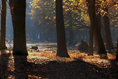 Damwild (Frau Koriander) Tags: damwild rehe reh lichtung wald forest woods zoo wildpark hanau rheinmaingebiet hessen germany deutschland animal tier waldtier tierpark fasanerie wildparkaltefasaneriehanau wildparkaltefasanerie wildgehege nikond300s nikkor8020028 light licht gegenlicht waldlichtung