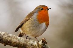Robin at Denny Wood, New Forest (Art-G) Tags: bird robin dennywood newforest hampshire uk canon eos7dmkii sigma150600c bokeh branch sundaylights