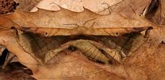 Endromid Moth (Prismosticta fenestrata, Endromidae), female (John Horstman (itchydogimages, SINOBUG)) Tags: insect macro china yunnan itchydogimages sinobug entomology canon moth lepidoptera endromidae explore topf25 topf50 top tumblr
