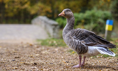 Portrait of a goose (Wouter de Bruijn) Tags: fujifilm xt2 fujinonxf56mmf12r greylag goose greylaggoose gans grauwegans bird fauna nature bridge forest fall autumn bokeh depthoffield gravel outdoor westhove mantelingen oostkapelle veere walcheren zeeland nederland netherlands holland dutch