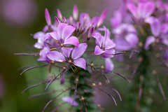 lovely in lavender (Dotsy McCurly) Tags: lavender purple plant flower cleome frilly nature beautiful yard nj newjersey nikonz7 tokinaatxm100prod100mmf28macro