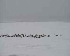 No shelter (jaovandelagemaat) Tags: standleylake landscape northamerica geese colorado unitedstates clouds snow animal usa animals