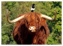 Les deux amis -  The two friends (diaph76) Tags: extérieur animaux animals arbre tree feuillage foliage oiseau bird pie bœuf magpie beef cornes horns france seinemaritime normandie lehavre parcderouelles ngc npc coth5
