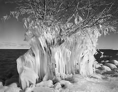 Frozen tree, Meaford, Ontario (John Brownlow) Tags: linhof 4x5 largeformat winter ice tree frozen lake pyrocat arista bw monochrome darkroom analog