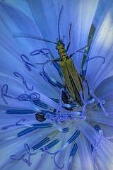 le musa 029 (Walwyn) Tags: coleoptera oedemera beetle cornflower