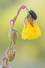 Cryptocephalus sp. (Cristian Arghius) Tags: sonya7 olympuszuikoauto11macro80mmf4 olympustelescopicautotube65–116 rrstp243tripod arcaswisscubetripodhead zerenestacker macro naturallight focusstack insect beetle cryptocephalus