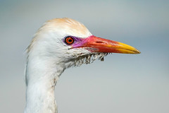 Colorful Egret - Breeding Colors (Bernie Duhamel) Tags: colorful wildlife shorebird bird water jamaica negril greatphotographers teamsony bernie duhamel portrait sunshine sonya9 sonyfe100400mm