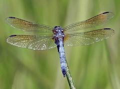 Dragonfly - Libellule (P9_DSCN9099-1PE-20180810) (Michel Sansfacon) Tags: dragonfly libellule nikoncoolpixp900 parcnationaldesîlesdeboucherville parcsquébec faune