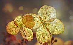 In the golden light (Through Serena's Lens) Tags: flora macro dof transparent delicate goldenlight petals lace hydrangeas skeleton flower fragile bokeh naturallight canoneos6dmarkii backlit silhouette