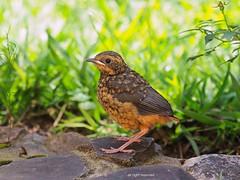 白眉歌䳭 White-browed Robin-Chat (章北海) Tags: wildlife nature birdlover birdwatching robin bird birds