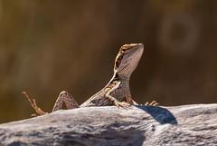 Little Ta Ta Lizard (fate atc) Tags: australia lophognathusgilberti northernterritory tatalizard hot lizard reptile rock