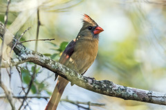 Northern Cardinal (noblesgeorge1) Tags: