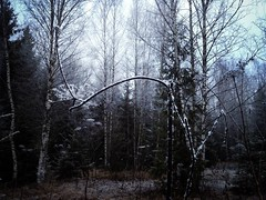 Talven laskeutuessa - When the Winter Is Going Down (Lauri S Laurén) Tags: winter autumn suomi finland kerava forest meadow snow november trees birch fir laurilaurén nature naturephoto art artphoto photoart afterprocessing afterprocessed metsä niitty moody melancholy peaceful