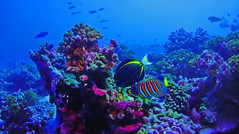 French Polynesia - Coral (Jacques Rollet (very little available)) Tags: coral polynesia mer sea fish poisson undersea