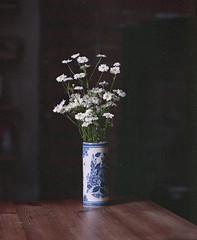 Camomile, Chinese vase (nikolaijan) Tags: mamiya rb67 120 film stilllife camomile windowflowers ireland expired kodak vhc100 vericolor