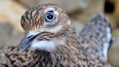 Das Auge des Vogels (Sanseira) Tags: zoo augsburg auge vogel tropenhalle