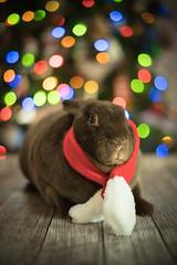 Hoppy Holidays (Twinmama) Tags: rex rabbit bunny kanit lapin