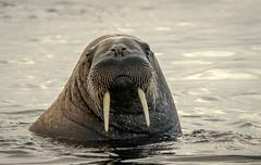 From the Arctic Depths_EXPLORE (catchlightdon) Tags: curiosity svalbard eyetoeye tusks walrus arcticocean norway ©donhenderson dominance adult odobenusrosmarus mammal