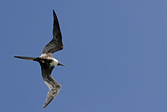 Frégate (Puce d'eau) Tags: frégate oiseaux birds aves ornithology ornithologic ornithologie mexique quintanaroo yucatan canon eos tamron rialagartos riolagartos reserve biosphere