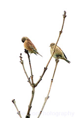 Common linnet , Linaria cannabina (Geckoo76) Tags: commonlinnet linariacannabina linnet bird