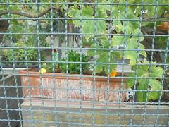 630 (en-ri) Tags: vaso fiore vite grata sony sonysti verde foglie leaves marrone giallo arancione
