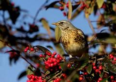 Fieldfare. (farrertracy) Tags: thrush winter berries red bluesky green bird tree fieldfare frost