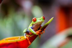 The Frog (ralfkoplin) Tags: animal costarica frog frosch lapaz tiere tierpark