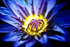 Punished By Your Anger (leopc.lin) Tags: summilux 50mm 14 voigtalnder ve close focus adapter kenko dg extension tube16mm10mm sony a6000 nex flower macro leica closeup floral garden waterlilies waterlily lily lilies