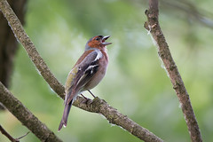 Chaffinch (JS_71) Tags: nature wildlife nikon photography outdoor 500mm bird new see natur pose moment outside animal flickr colour poland sunshine beak feather nikkor d7500 wildbirds