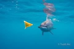 the leaf game (Todd Aki) Tags: hawaii dolphin snorkel